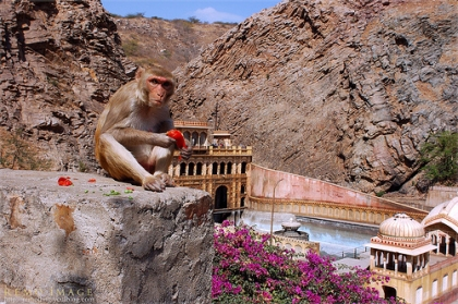 Monkey at Temple in Galta by RemoDing